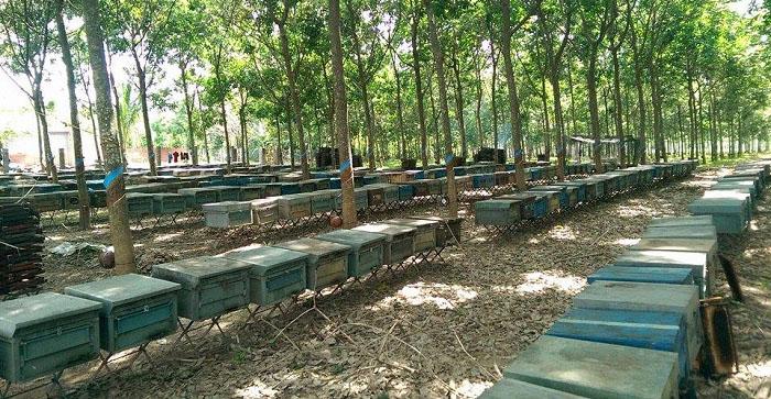 Lâm Đồng là nơi có nhiều trang trại ong cho thu hoạch sữa ong chúa nhất hiện nay
