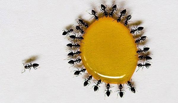 Mật ong thật có bị kiến bu không