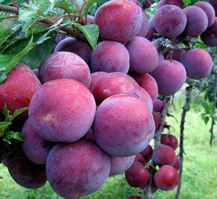 Trong mỗi quả mận chứa đến 8g chất xơ và đây là 1 trong 8 loại trái cây tốt cho da