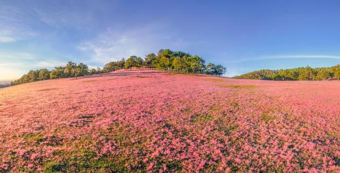 Đồi cỏ hồng Đà Lạt là một trong 8 địa điểm du lịch Đà Lạt được du khách chú ý nhiều nhất khi đến tham quan