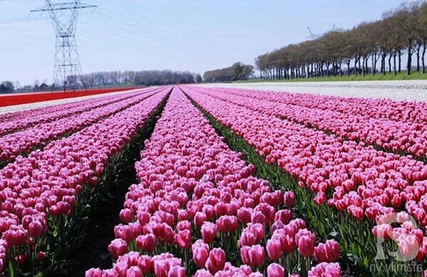 Sự lãng mãn được thể hiện qua ý nghĩa hoa Tulip