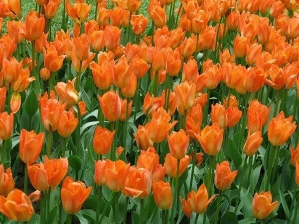Hình ảnh những cánh hoa Tulip cam đầy sức sống