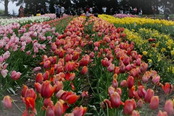 Hoa Tulip là loại cây ưa ẩm lạnh