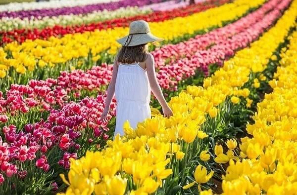 Hoa Tulip được nở vào mùa xuân