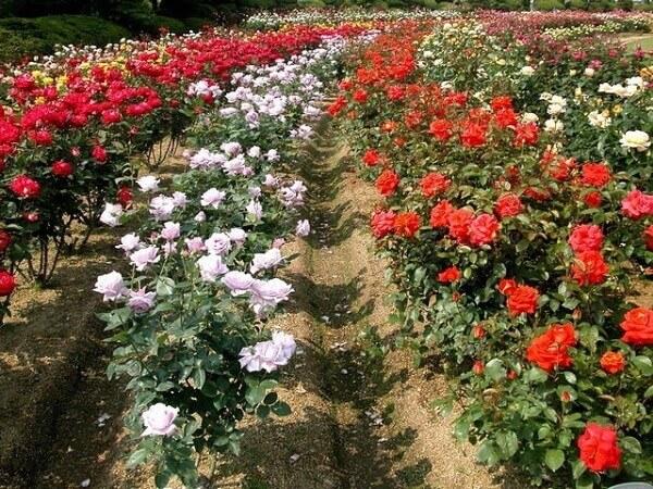 Hoa Tulip được trồng ở Đà Lạt