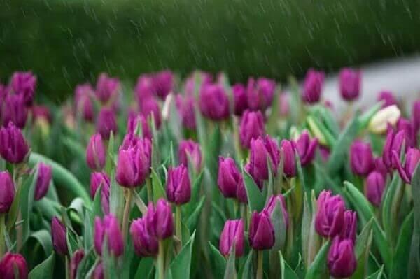 Màu tím thủy chung của hoa Tulip
