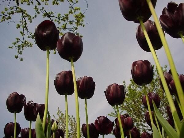 Ý nghĩa hoa Tulip đen với đầy những nét đặc trưng
