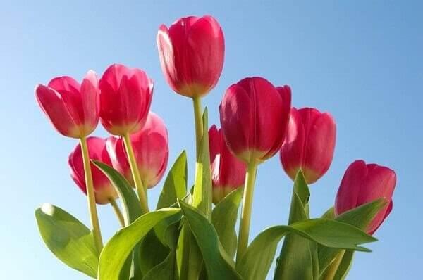 Sắc đỏ của hoa Tulip, sắc màu của sự hạnh phúc