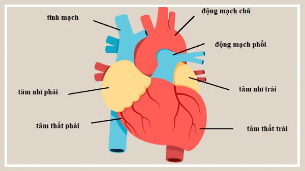 Trái tim con người được cấu tạo như thế nào?